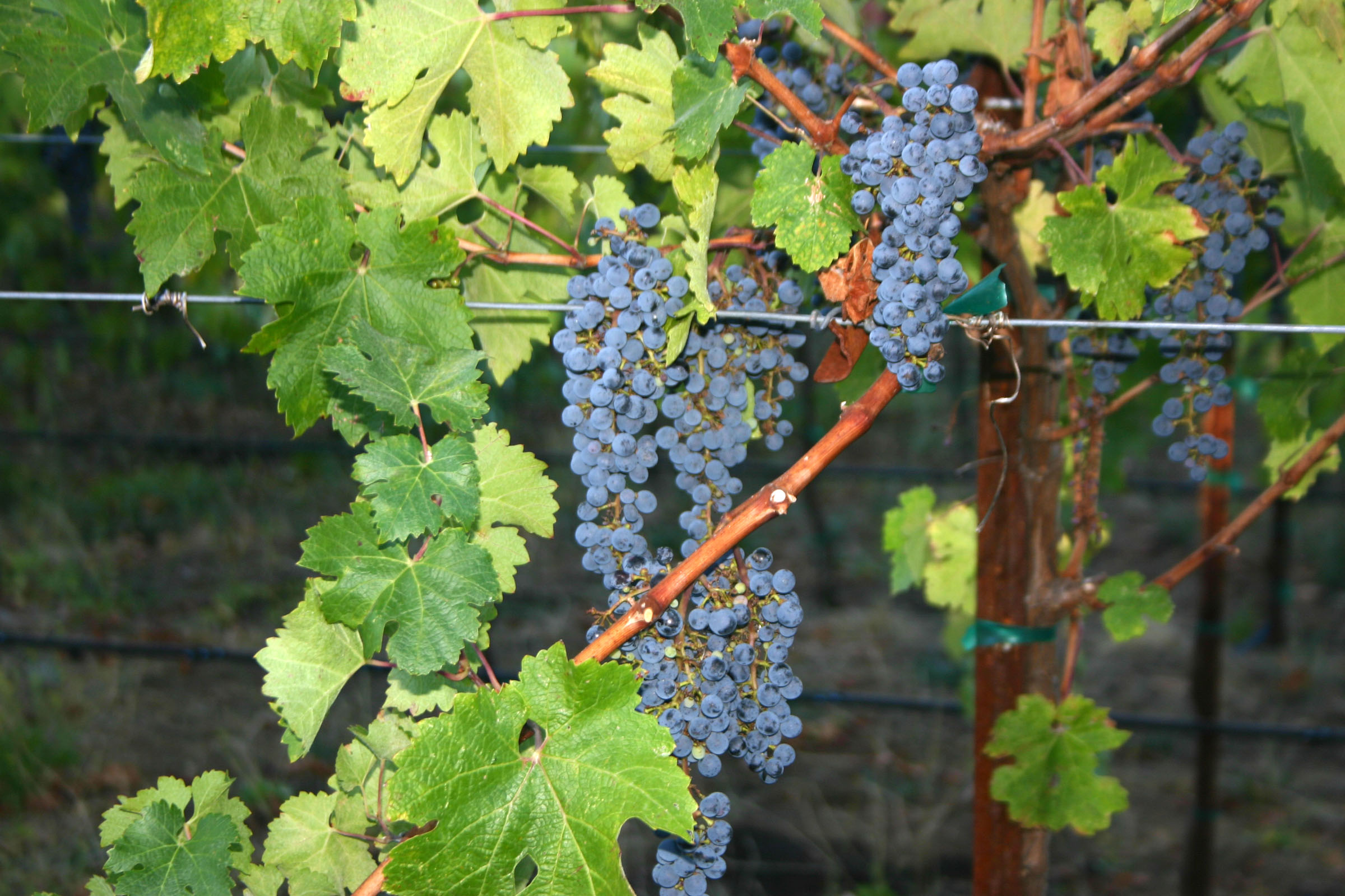 Grape clusters - Wine making Sonoma Cabernet at          Texas Winery